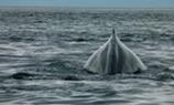 נדידת הלווייתנים האפורים בקליפורניה